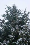 Kiefer abgedeckt mit Schnee Lizenzfreies Stockfoto