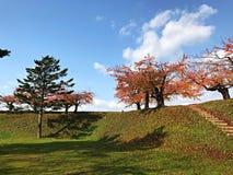 Kiefer, Ahornbaum mit Himmelblau und Wolke stockbild