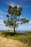 Kiefer auf atlantischer Küste, Spanien Stockfotos
