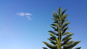 Kiefer auf blauem Himmel mit clound Stockbild