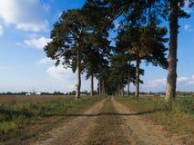 Kiefer auf dem Feldweg Stockbild