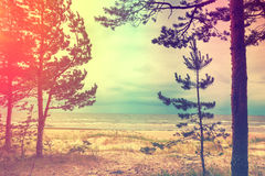 Kiefer auf dem Strand stockfotos