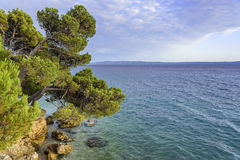 Kiefer auf dem Ufer des blauen Meeres kroatien Lizenzfreie Stockfotos