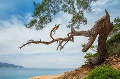 Kiefer auf dem Ufer des Mittelmeeres stockfotografie