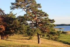 Kiefer auf dem Ufer von See Peipsi lizenzfreie stockfotografie