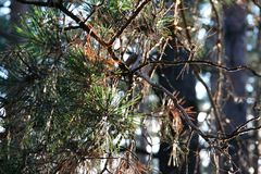 Kiefer auf dem Wald Stockbild