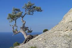 Kiefer auf einem Felsen gegen den blauen Himmel krim Lizenzfreie Stockfotografie