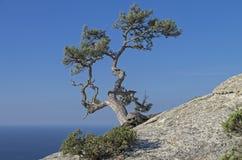 Kiefer auf einem Felsen gegen den blauen Himmel krim Lizenzfreie Stockfotos