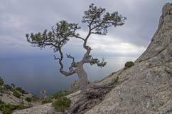 Kiefer auf einem Felsen gegen den grauen Himmel krim Stockfotografie