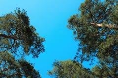 Kiefer auf Hintergrund des blauen Himmels Lizenzfreie Stockfotografie