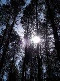 Kiefer-Bäume und Sonne lizenzfreie stockfotos