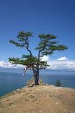 Kiefer, Baikal Stockbild