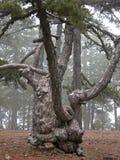 Kiefer-Baum am Nebel Lizenzfreies Stockfoto