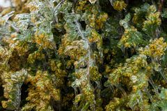 Kiefer bedeckt in gefrorenem Regen Stockbilder