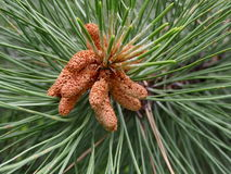 Kiefer-Blumen Stockfotos