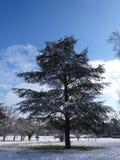 Kiefer in den Schneefällen und in den weißen Wolken im blauen Himmel Lizenzfreie Stockbilder