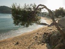 Kiefer, die über dem Strand hängt Lizenzfreies Stockfoto