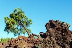 Kiefer, die auf den Felsen wächst Lizenzfreie Stockbilder