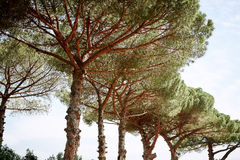 Kiefer in einem Park in Rom Stockfotos