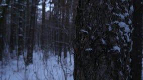 Kiefer in einem Winter, schneebedeckte, kalte Waldnahaufnahme mit natürlichem Licht stockfotografie