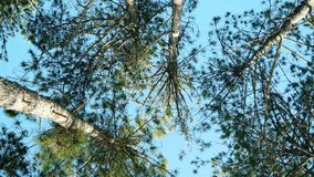 Kiefer, Fichte gegen den blauen Himmel, Wald, Oberteile der Bäume im Wald, im Frühjahr Park mit vielen Bäumen stock footage