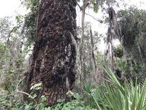 Kiefer in Florida Lizenzfreie Stockfotos