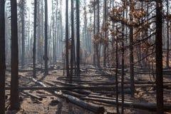 Kiefer in Forest Fire Stockfoto