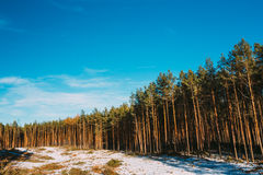 Kiefer Forest Under Deep Blue Sky, russische Natur Stockbilder