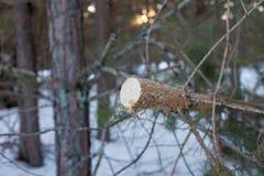Kiefer gesägt im Winterwald stockbilder