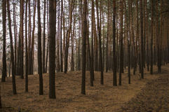 Kiefer am Herbstwaldfallabend in den braunen Farben stockbild