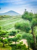 Kiefer im Bauernhof des grünen Tees mit Gebirgshintergrund Lizenzfreie Stockfotos