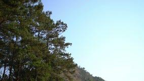 Kiefer im blauen Himmel stock video