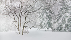 Kiefer im Central Park New York lizenzfreies stockfoto