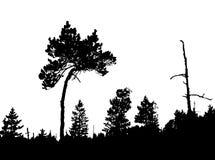Kiefer im Holz Lizenzfreie Stockbilder