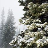 Kiefer im Nebel. Stockfotos