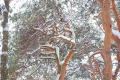 Kiefer im Schnee Lizenzfreie Stockbilder