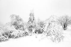Kiefer im Schnee vor einem Blizzard Stockbilder
