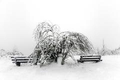 Kiefer im Schnee vor einem Blizzard Stockfotos