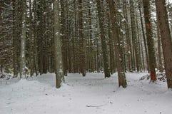 Kiefer im Winter Lizenzfreie Stockfotografie