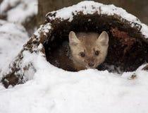 Kiefer Martin, der im hohlen Anmeldungsschnee während der Winterzeit sich versteckt Stockbild