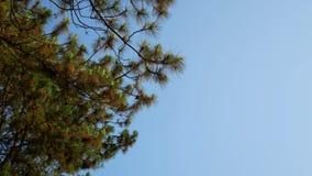 Kiefer mit blauem Himmel stock video footage