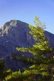 Kiefer mit Kegeln in den weißen Bergen Stockbild