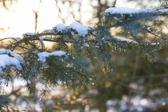 Kiefer mit schmelzendem Schnee auf ihm Lizenzfreies Stockbild