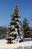 Kiefer mit Schnee Lizenzfreie Stockfotos