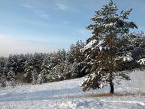 Kiefer nahe Wald Lizenzfreie Stockfotos