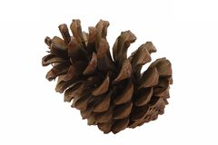 Kiefer, Pinus - Kegel einer Kiefer Stockfotos