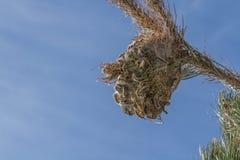 Kiefer processionary nides Lizenzfreie Stockfotografie