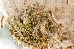 Kiefer processionary nides Stockfotos