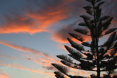Kiefer am Sonnenuntergang Stockfoto