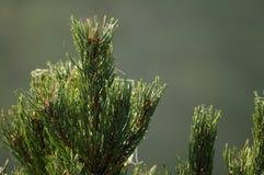 Kiefer Treetop (Luft) 2778 Lizenzfreie Stockfotografie